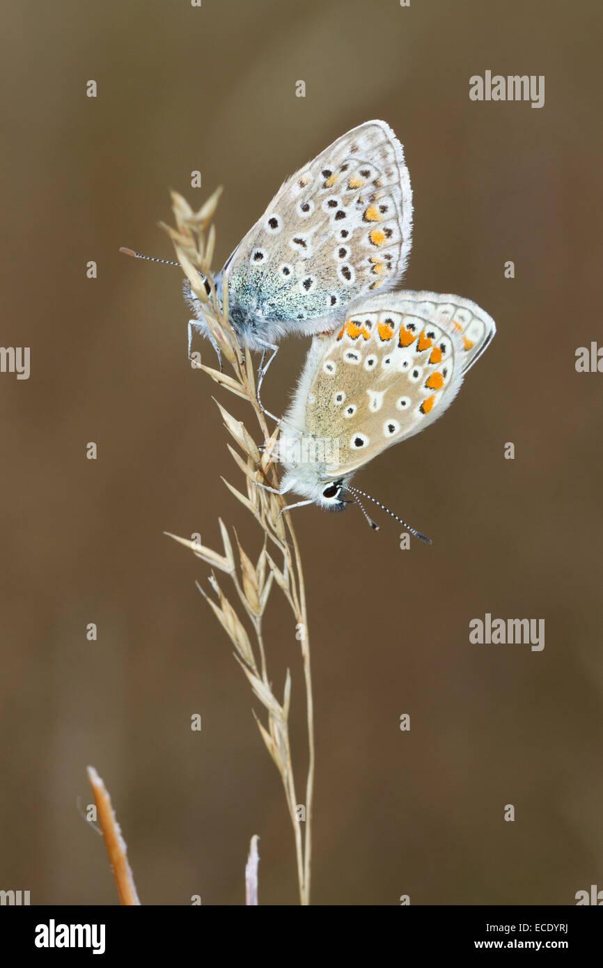 Las mariposas azules comunes (Polyommatus icarus) adulto par de apareamiento. Powys, Gales. De agosto. Imagen De Stock