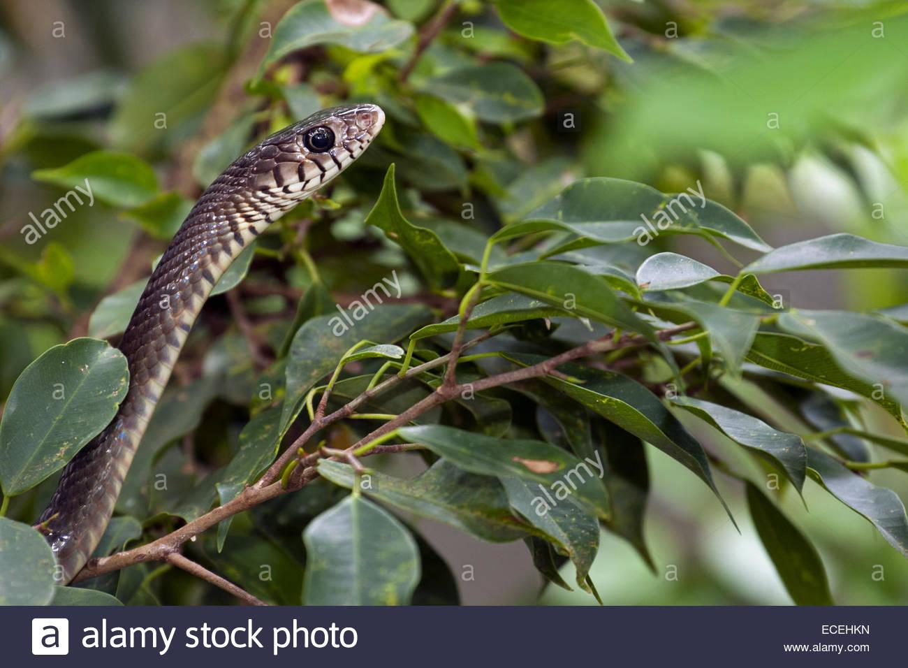 Ratsnake orientales / India / serpiente rata dhaman (Ptyas mucosa), serpientes colubrid nativo del sur y sudeste Foto de stock