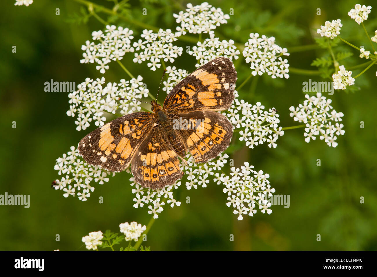 Plateado checkerspot butterfly en wildflower en Texas Foto de stock