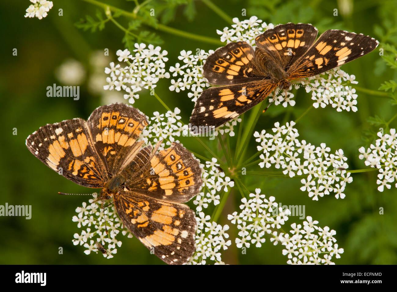 Plateado checkerspot butterfly en wildflower en Texas Foto de stock