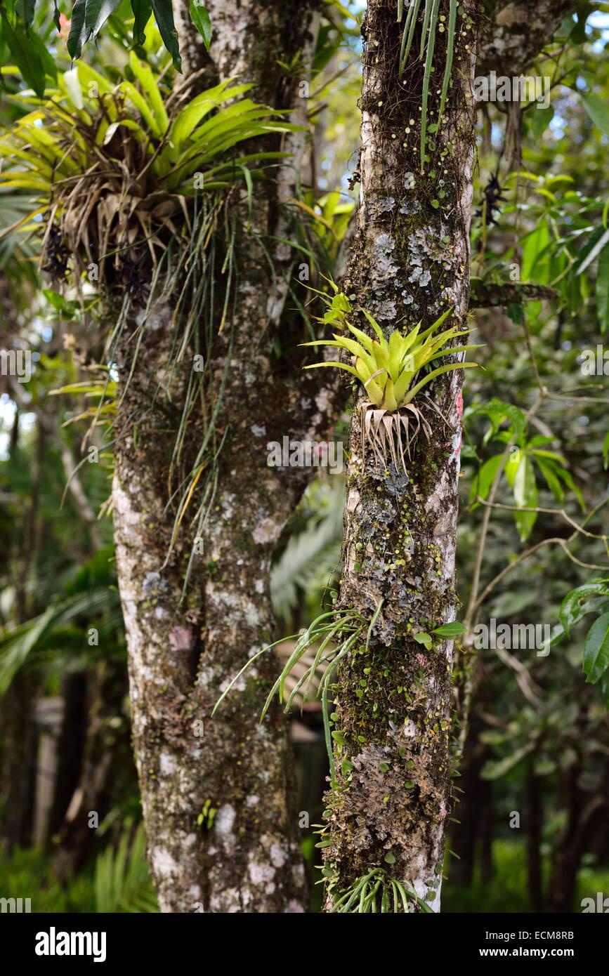 Bromelia plantas tropicales crecen en el tronco de un árbol en la loma Isabel de Torres jardín botánico Imagen De Stock