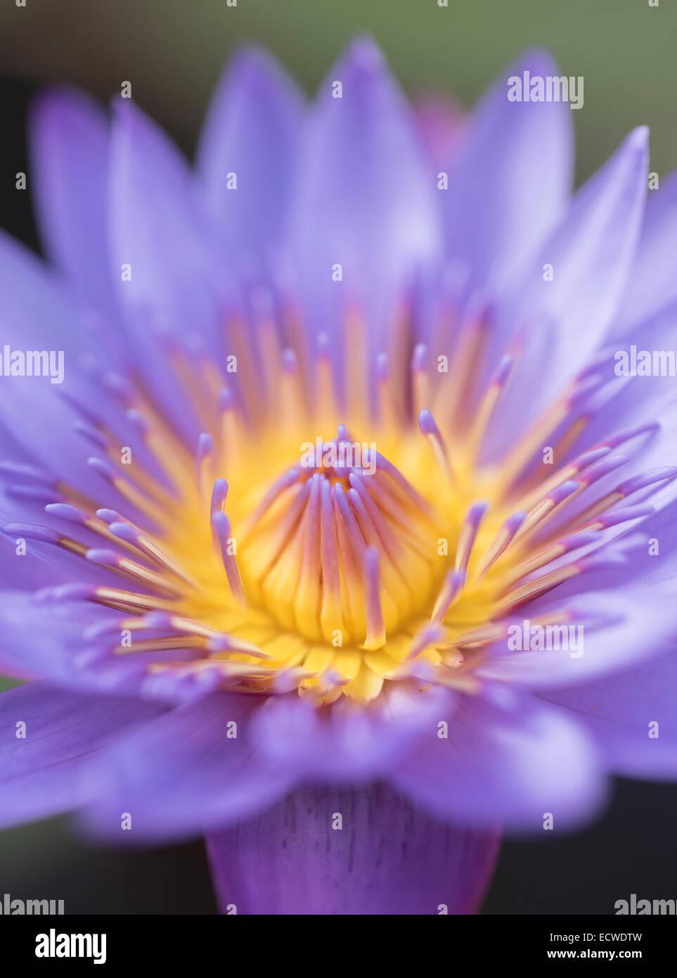 Lirio de agua, Nymphaeaceae, lirios de agua, flor Foto de stock