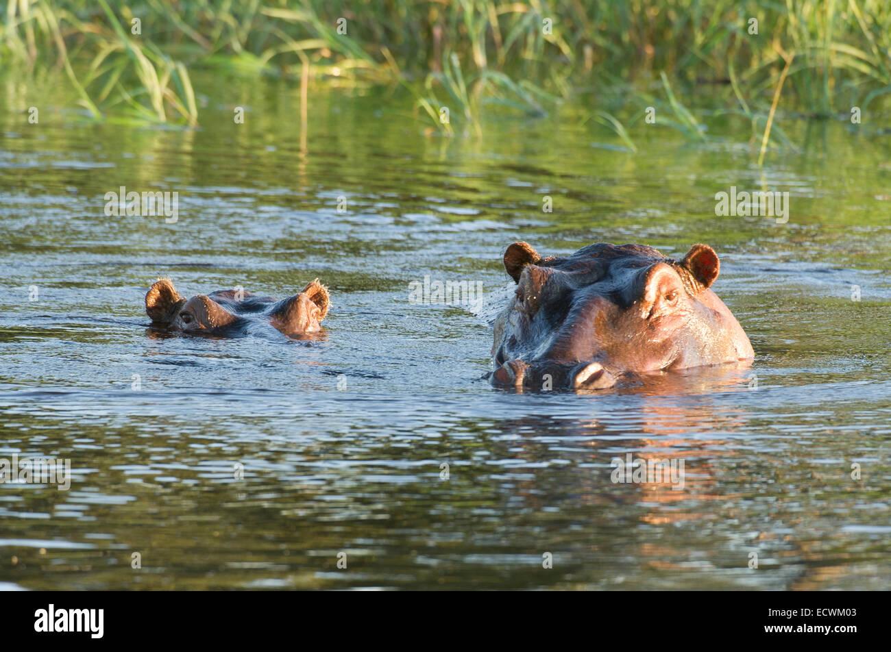 Hippo en waterhole Foto de stock