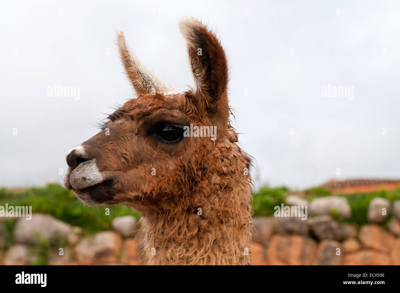 La imagen de un lindo llama en Perú Foto de stock