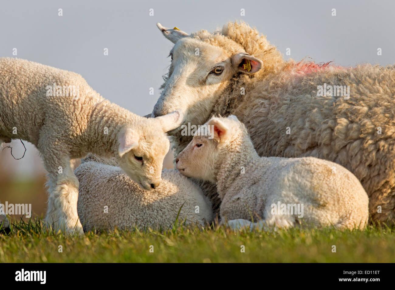 Ovejas con animales jóvenes, Frisia septentrional, Schleswig-Holstein, Alemania, Europa Imagen De Stock