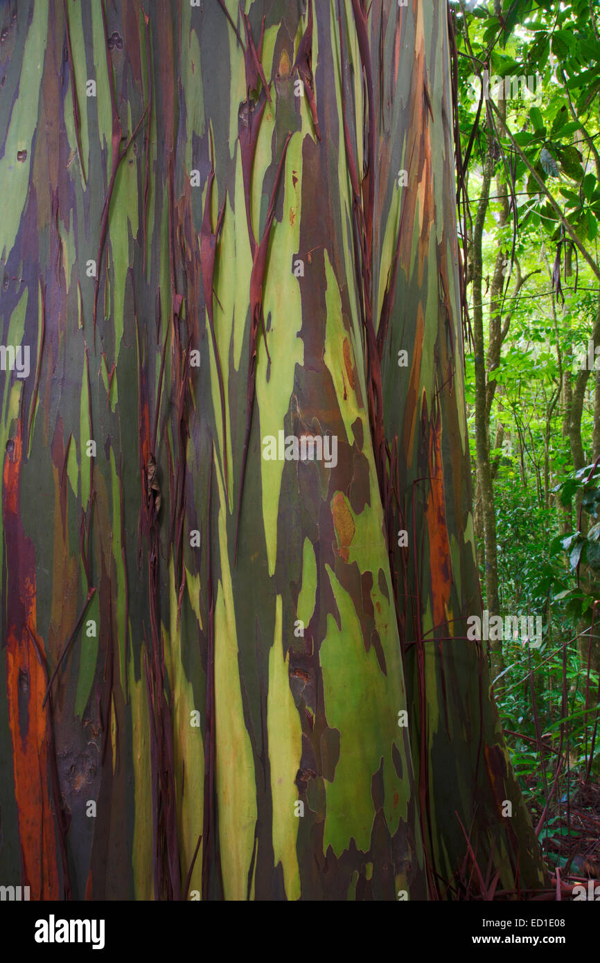 Coloridos árboles de eucalipto a lo largo de la carretera Hana, Maui, Hawaii. Imagen De Stock