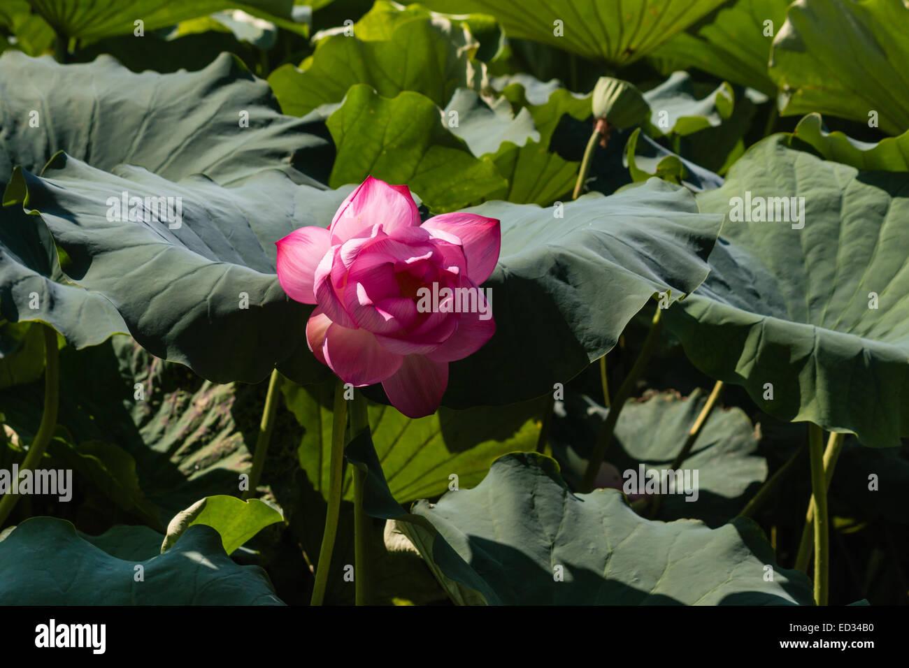 La Cabeza De La Flor De Loto Sagrado Foto Imagen De Stock