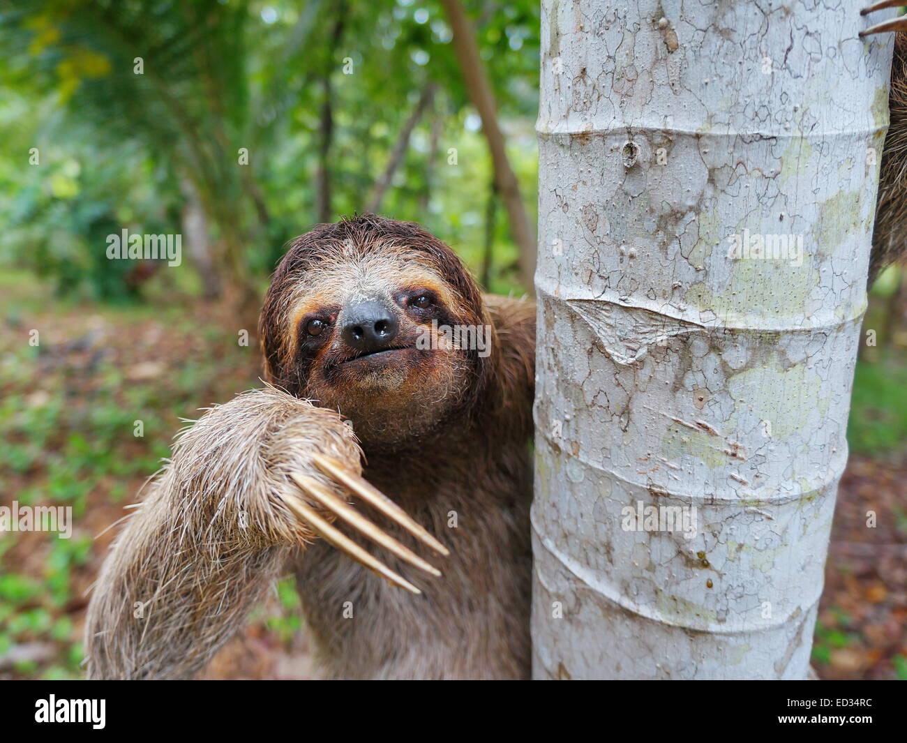 Retrato de marrón-throated perezoso de tres dedos en un árbol, Panamá, América Central Foto de stock
