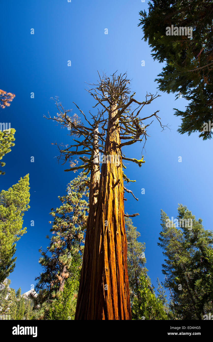 Un árbol muerto encima de la Nevada caída en el pequeño valle de Yosemite, el Parque Nacional Yosemite, California, USA. Foto de stock