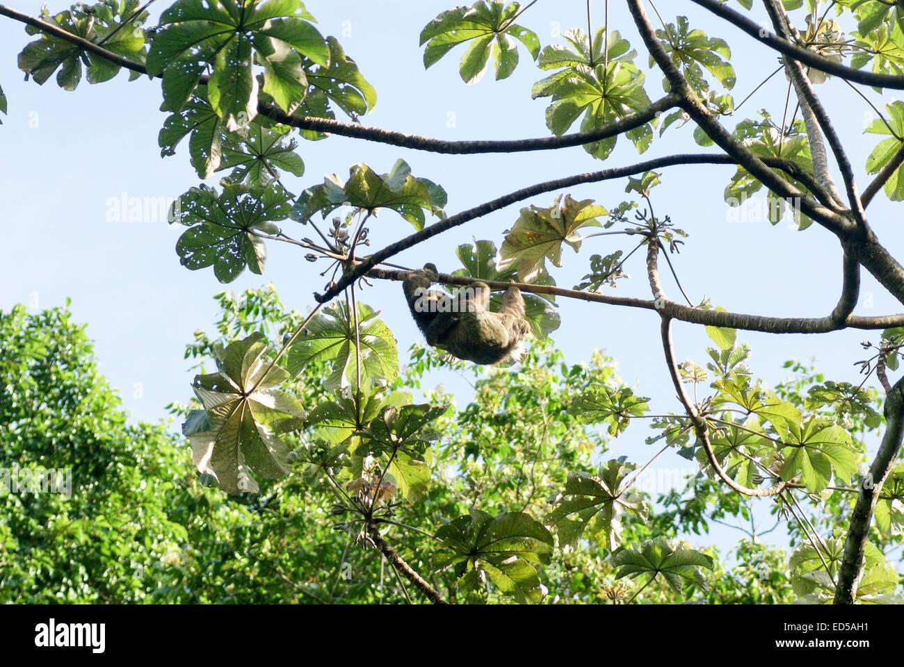 Brown-throated perezoso de tres dedos (Bradypus variegatus), en el Parque Nacional Manuel Antonio, Parque Nacional Manuel Antonio), Co Foto de stock