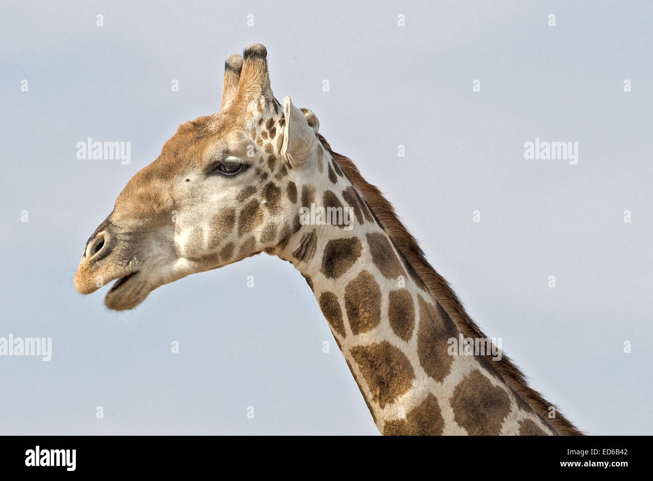 Giraffe macho (Giraffe angoleña) con mejilla abultada de masticar, Parque Nacional Augrabies Falls, Namaqualand, Cabo Norte, Sudáfrica Foto de stock