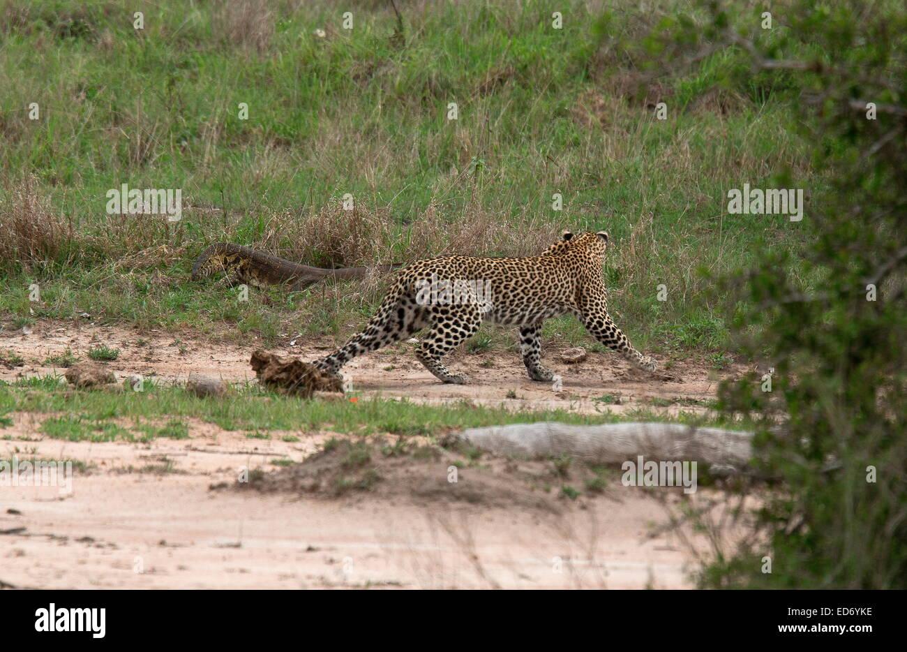Leopardo Panthera pardus, evitando cuidadosamente un gran monitor del Nilo en el Parque Nacional Kruger, Sudáfrica Foto de stock