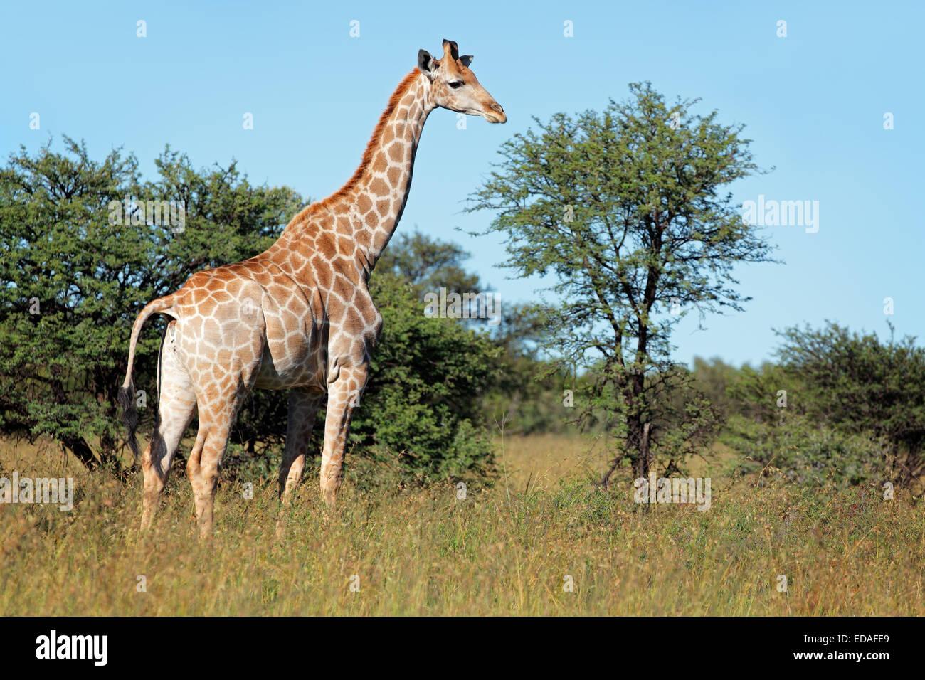 Una jirafa (Giraffa camelopardalis) en su hábitat natural, Sudáfrica Imagen De Stock