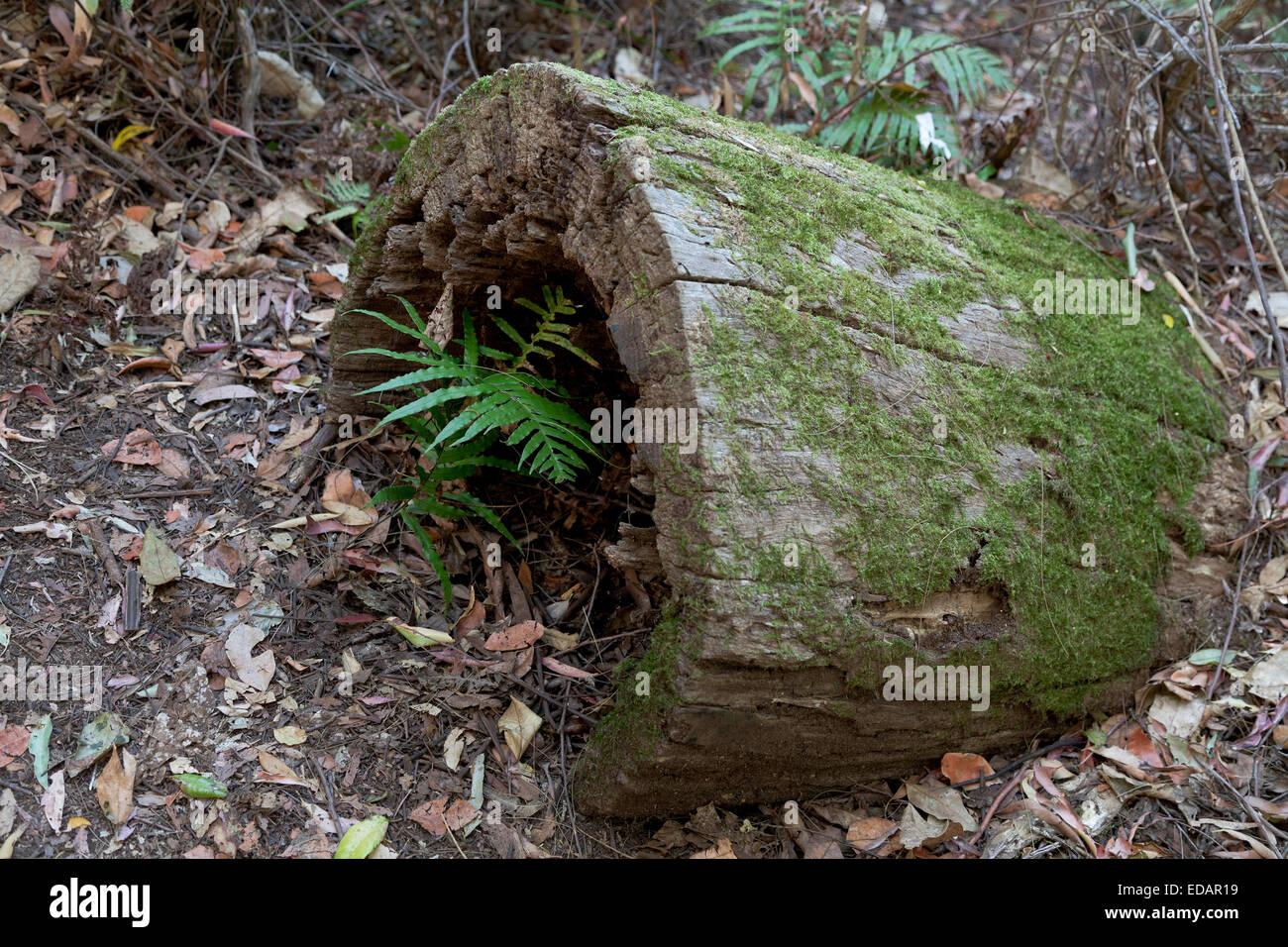 Tronco de árbol con el helecho en el bosque, Australia Imagen De Stock