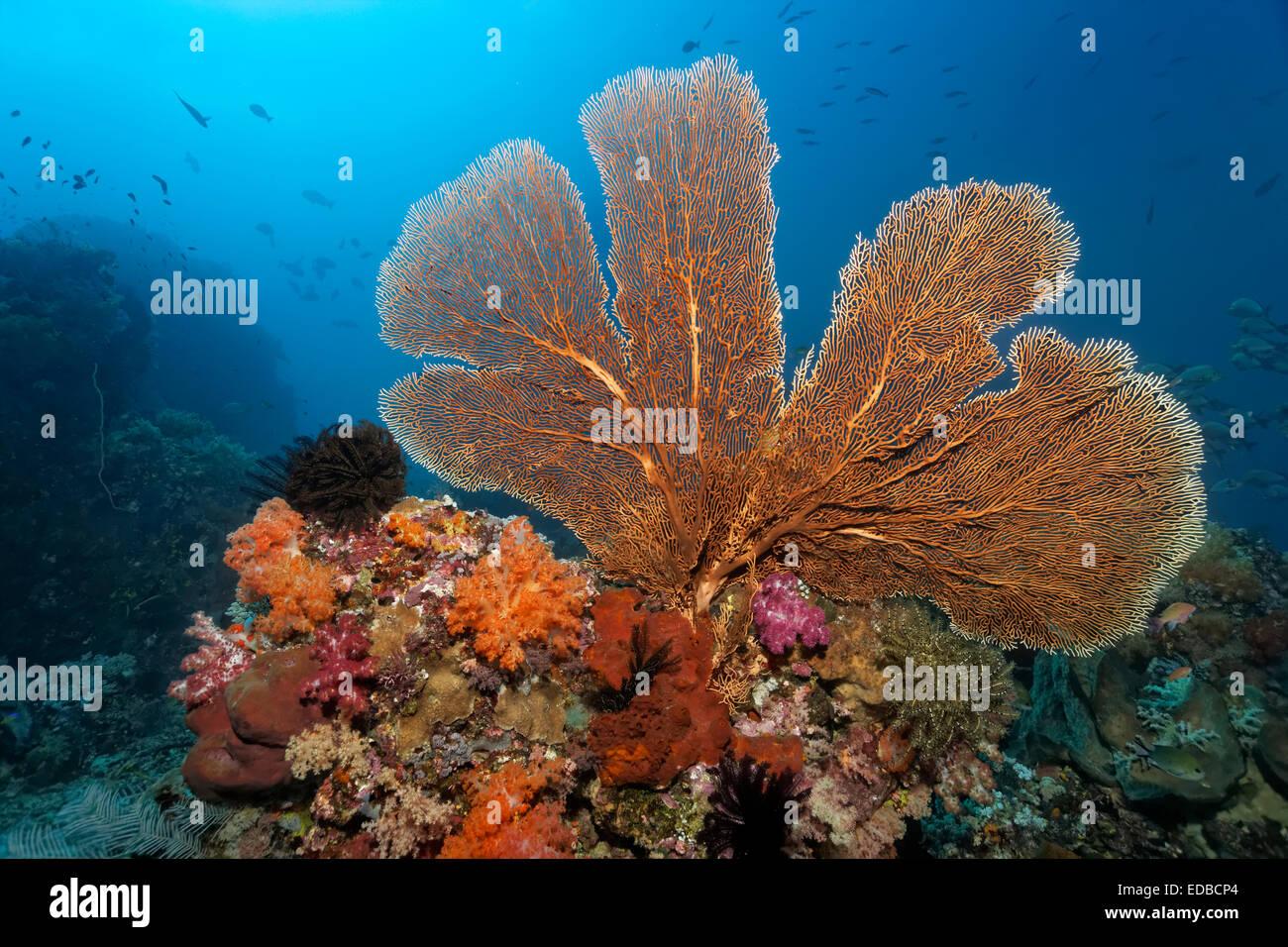Techo de arrecifes de coral con grandes gorgonias (Annella mollis), diversas corales blandos (Alcyonacea), corales Foto de stock