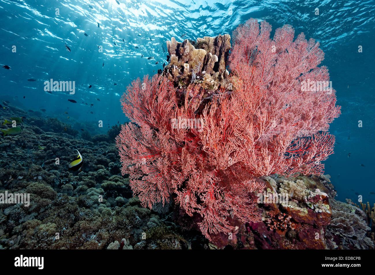 Caída de arrecifes de coral para bloquear con ventilador anudadas Coral (Melithea ochracea), la Gran Barrera Imagen De Stock