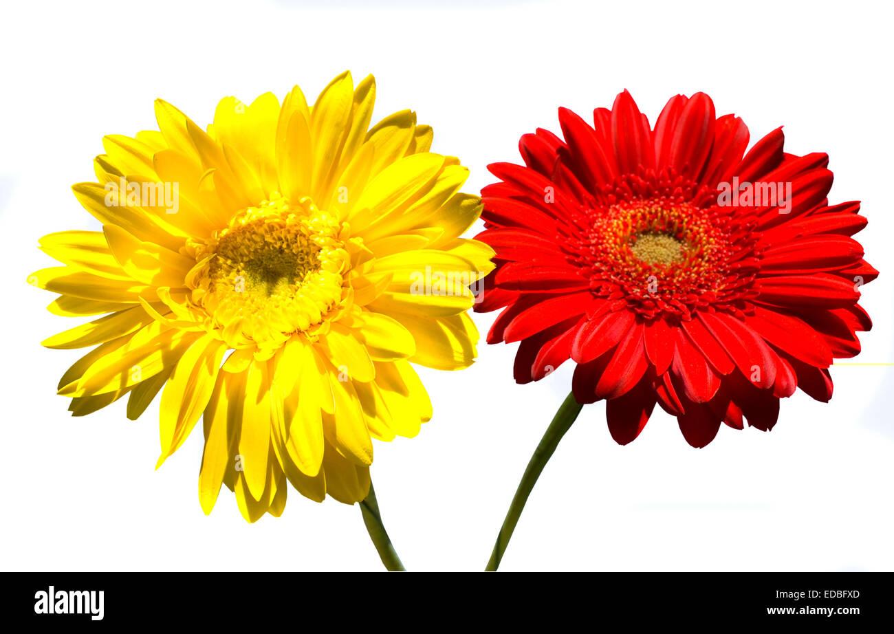Dos Flores De Color Rojo Y Amarillo Gerbera Aislado Sobre Fondo Blanco Fotografía De Stock Alamy