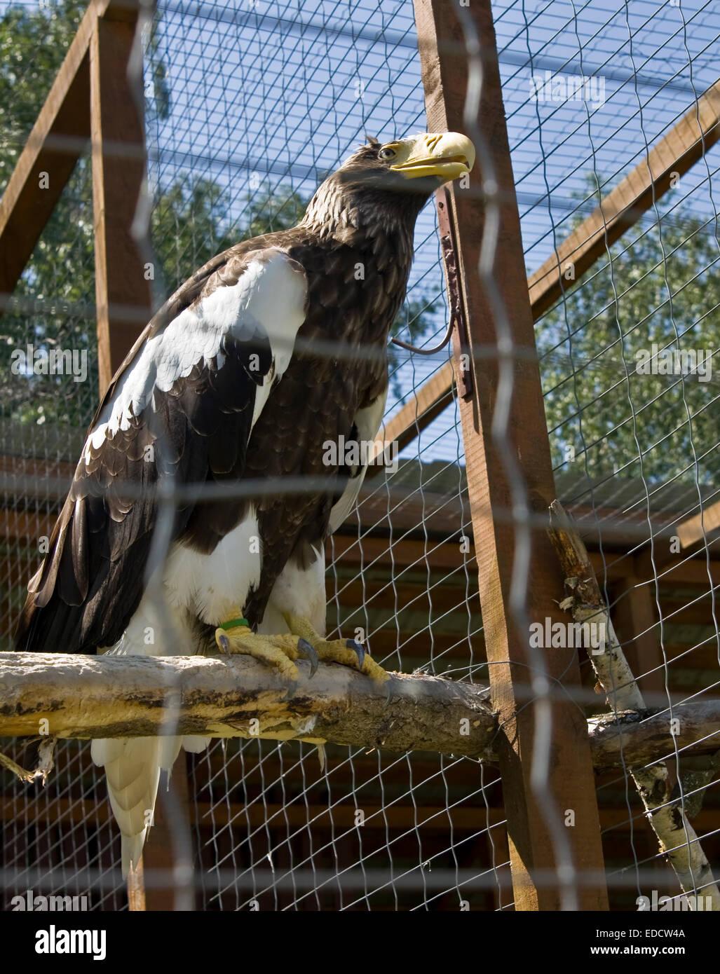 Águila de Mar de Steller (Haliaeetus pelagicus), vive en el Lejano Oriente. Imagen De Stock
