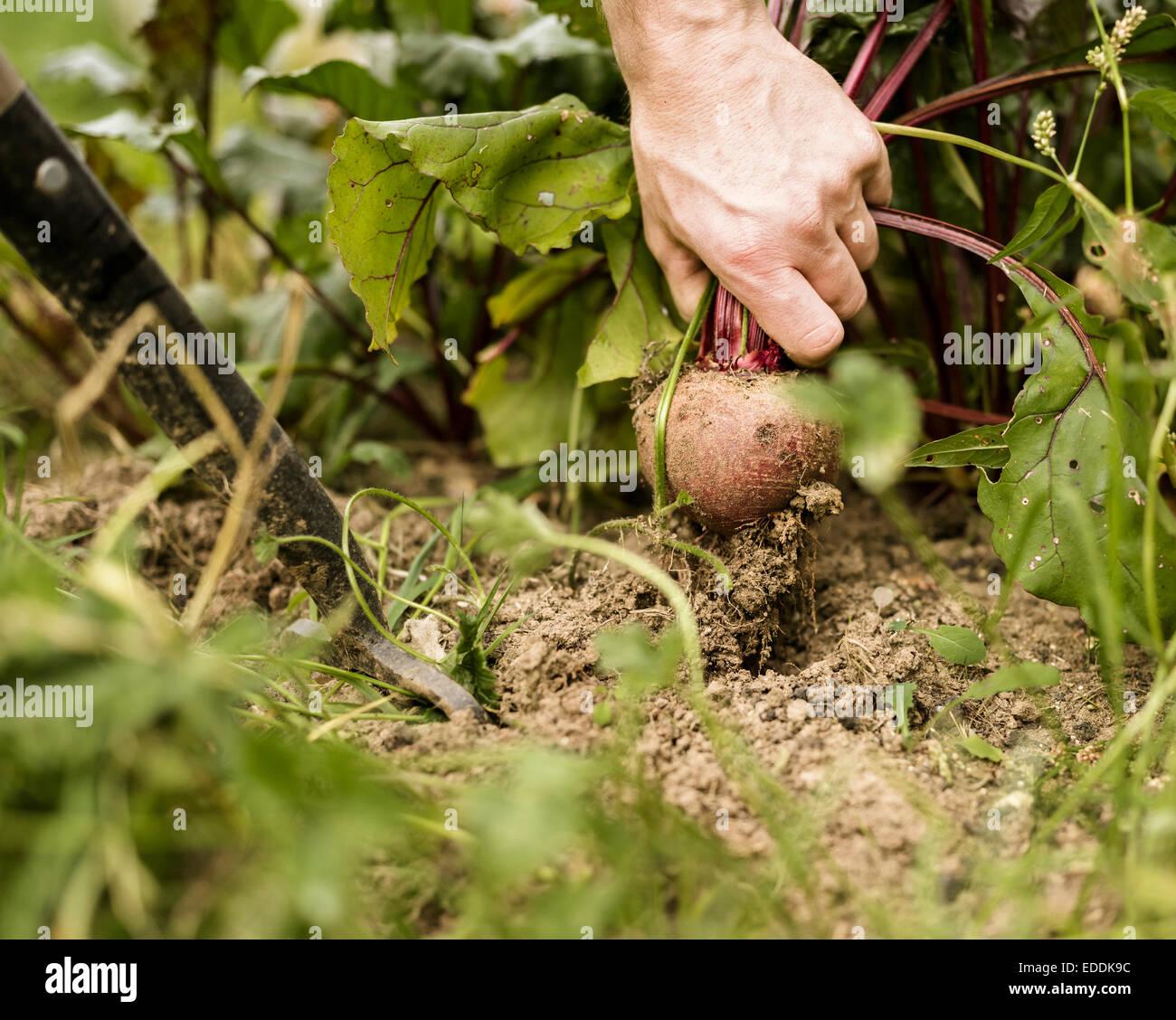 Mano sacando una remolacha planta desde el suelo. Imagen De Stock