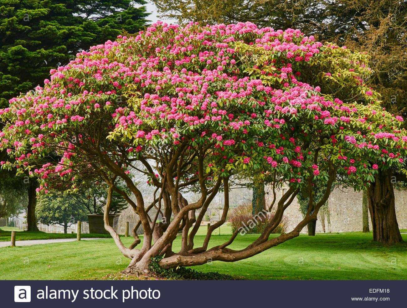 Flores De Color Rojo Brillante De Un Arbusto De Hoja Perenne De Rododendros En British Uk Woodlands Fotografía De Stock Alamy