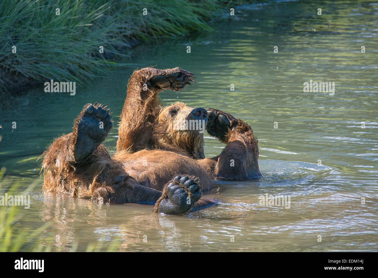 Adultos, Oso Grizzly Ursus arctos, refrescarse en un arroyo, Lake Clark National Park, Alaska, EE.UU. Foto de stock