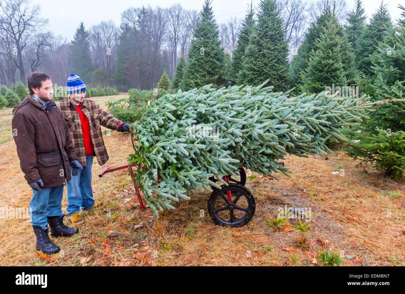 Dos hombres jóvenes talar un árbol de Navidad en una granja de árboles de Navidad. Foto de stock