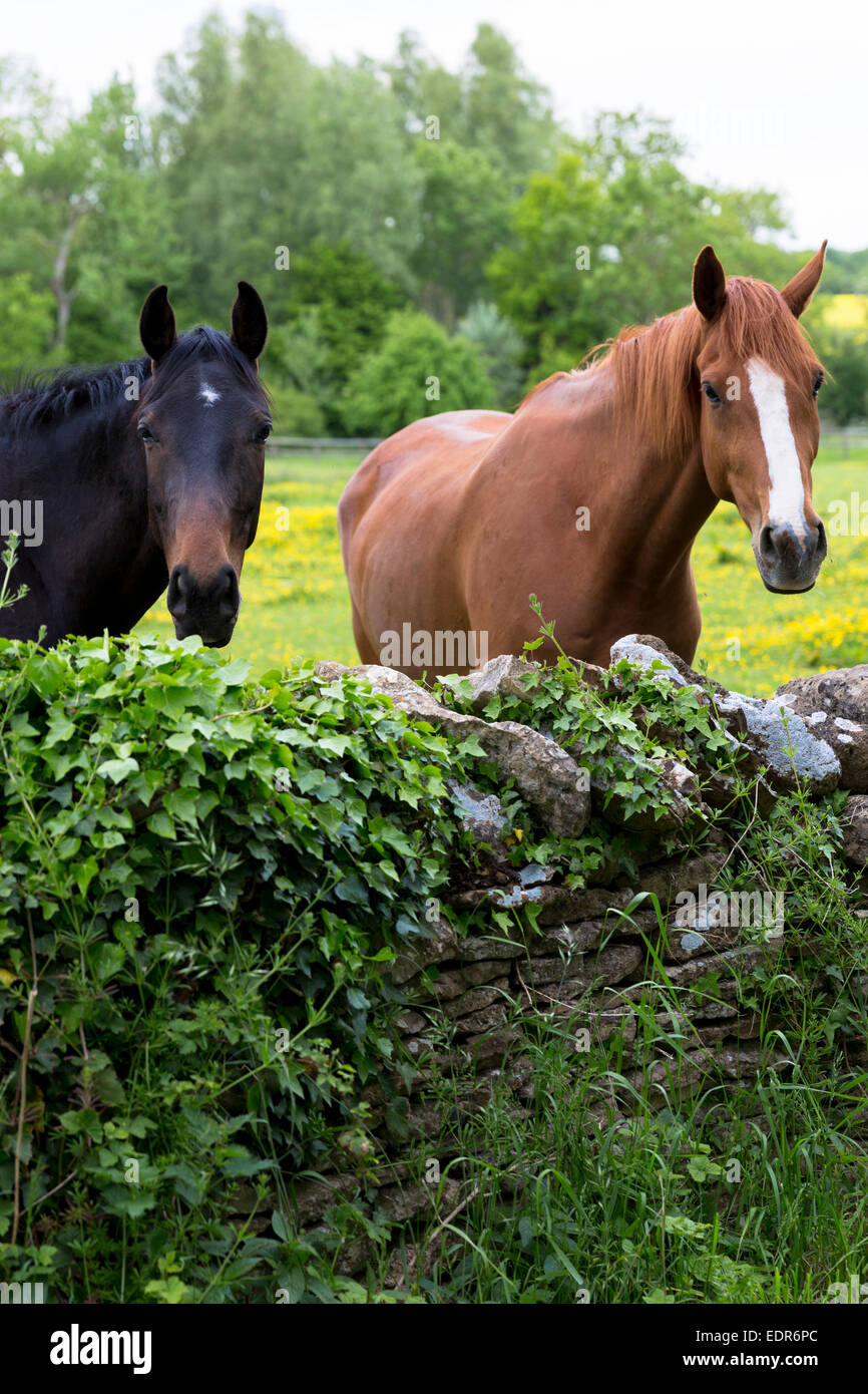 Castaño oscuro y bahía de caballos en verano, en un campo en Devon, Reino Unido Imagen De Stock