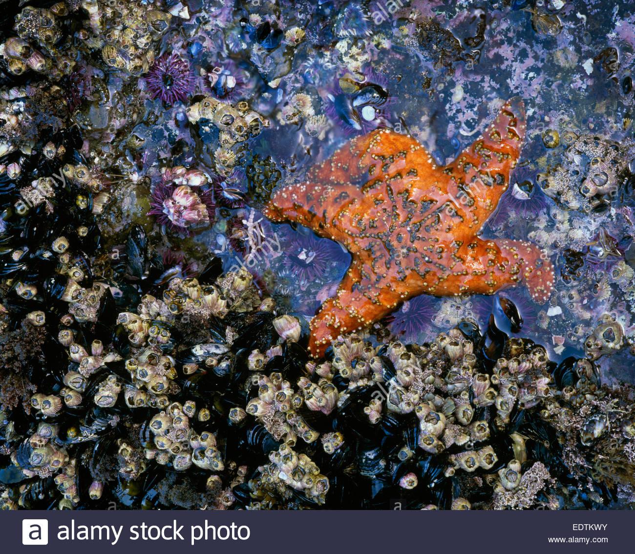 Zona intermareal con ocre seastar 'Santa Bárbara' [Isla Parque Nacional de las Islas del Canal de California] Imagen De Stock