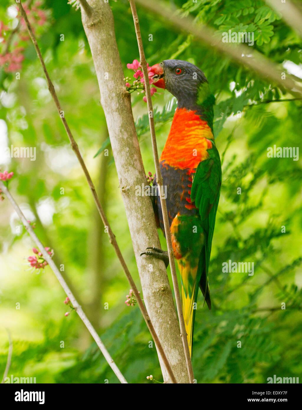 Rainbow lorikeet colores brillantes, Australian parrot en el medio silvestre se alimentan en racimo de flores rosadas de plancha, árbol nativo Melicope elleryana Foto de stock