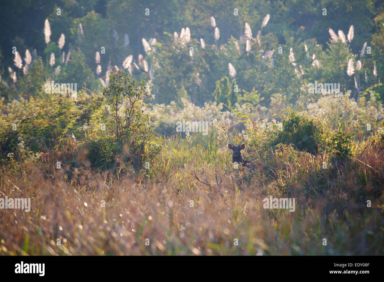 Rusa unicolor, ciervos Sambar, en Phu Khieo Wildlife Sanctuary, Tailandia. Imagen De Stock