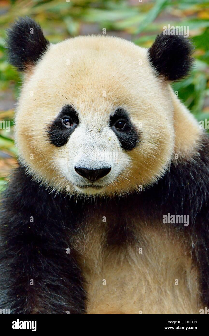 El panda gigante (Ailuropoda melanoleuca), cautiva, Chengdu Base de investigación de pandas gigantes de cría Imagen De Stock