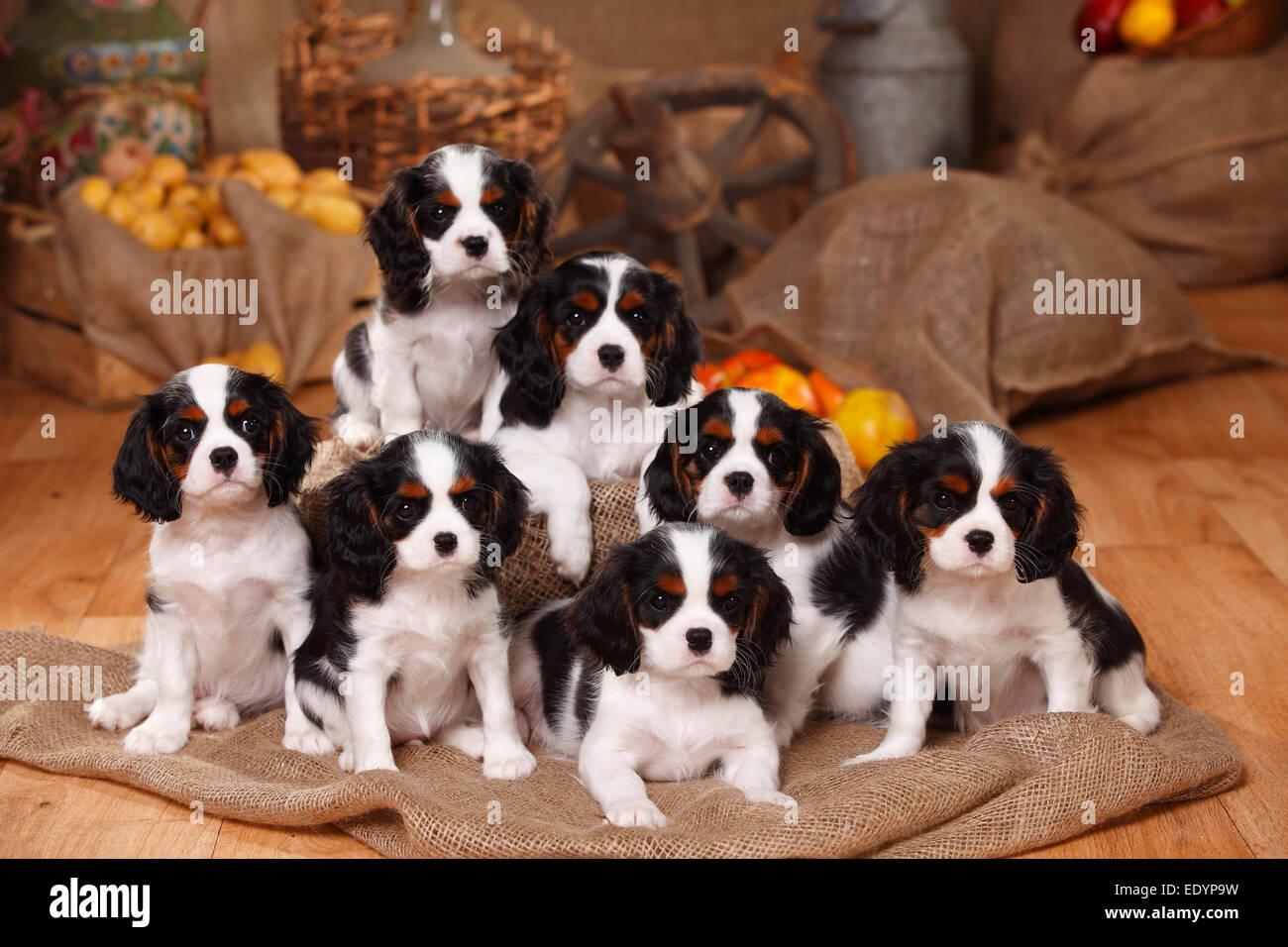 Cavalier King Charles Spaniel Puppies Fotos E Imagenes De Stock Alamy