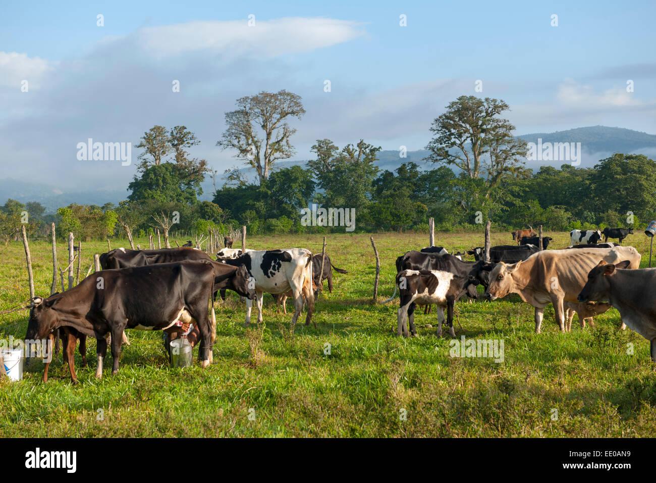 Dominikanische Republik, Südwesten, Kühe auf der Weide bei Rancho Arriba östlich von San José Imagen De Stock
