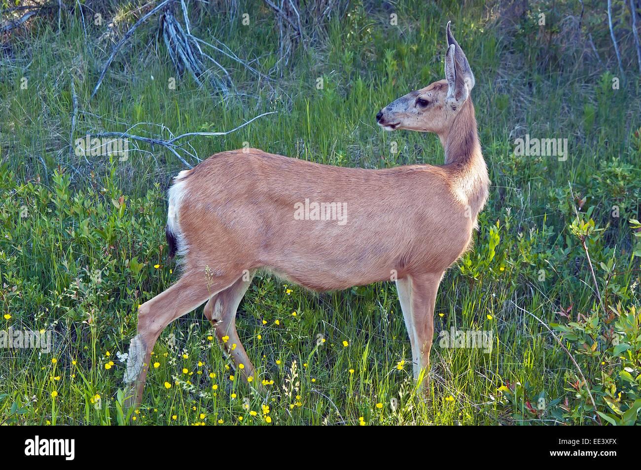Ciervo mula, hembra en alberta, Canadá Foto de stock