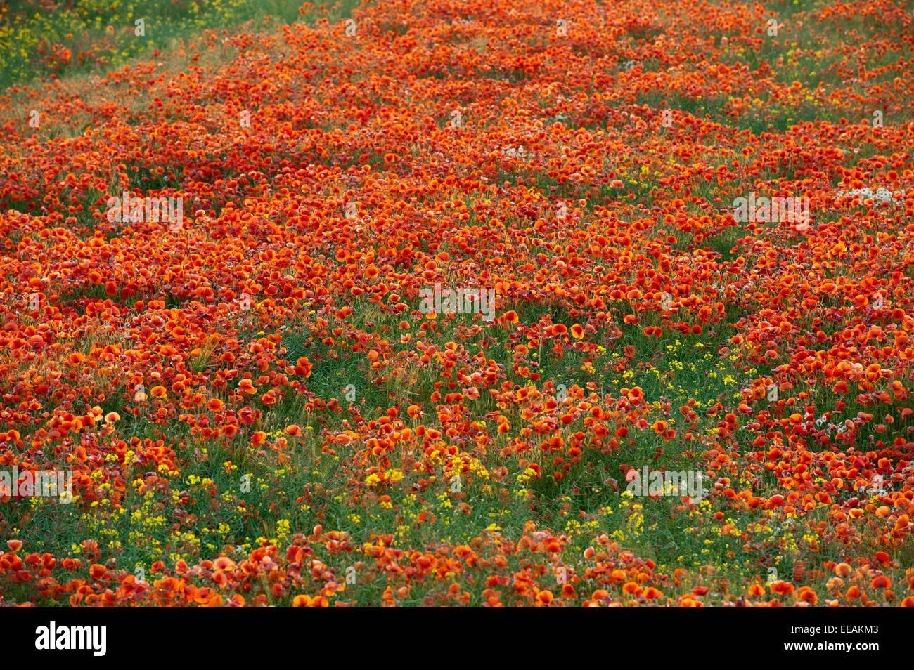 La amapola, Papaver rhoeas común, cubriendo un terreno cultivable. North Yorkshire, Reino Unido. Imagen De Stock