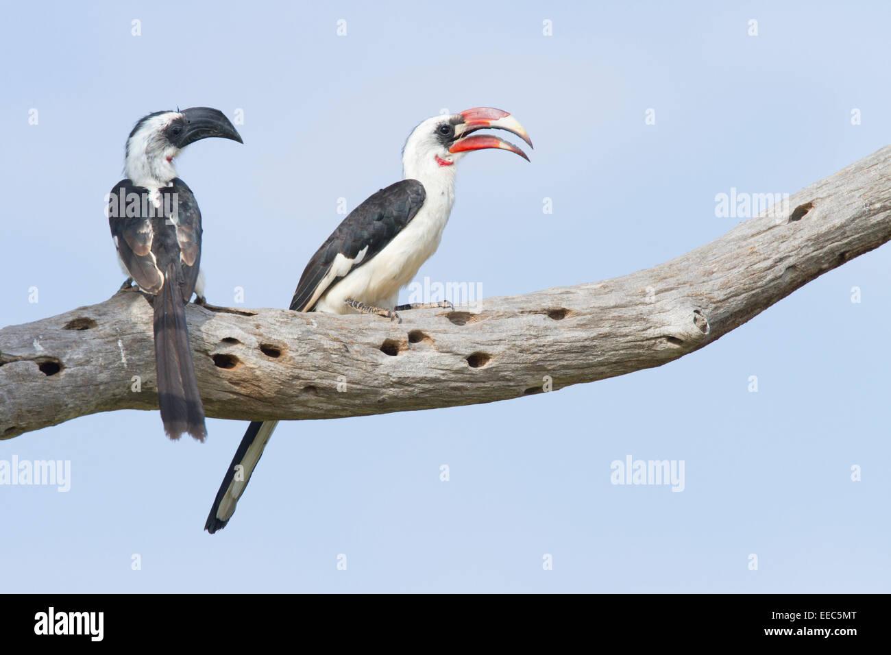 Par de von der Decken)'s Hornbills (Tockus deckeni) posado en una rama Imagen De Stock