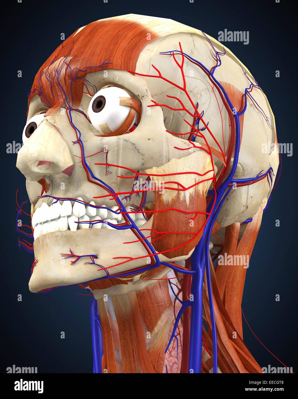 Cabeza humana con los huesos, los músculos y el sistema circulatorio. Imagen De Stock
