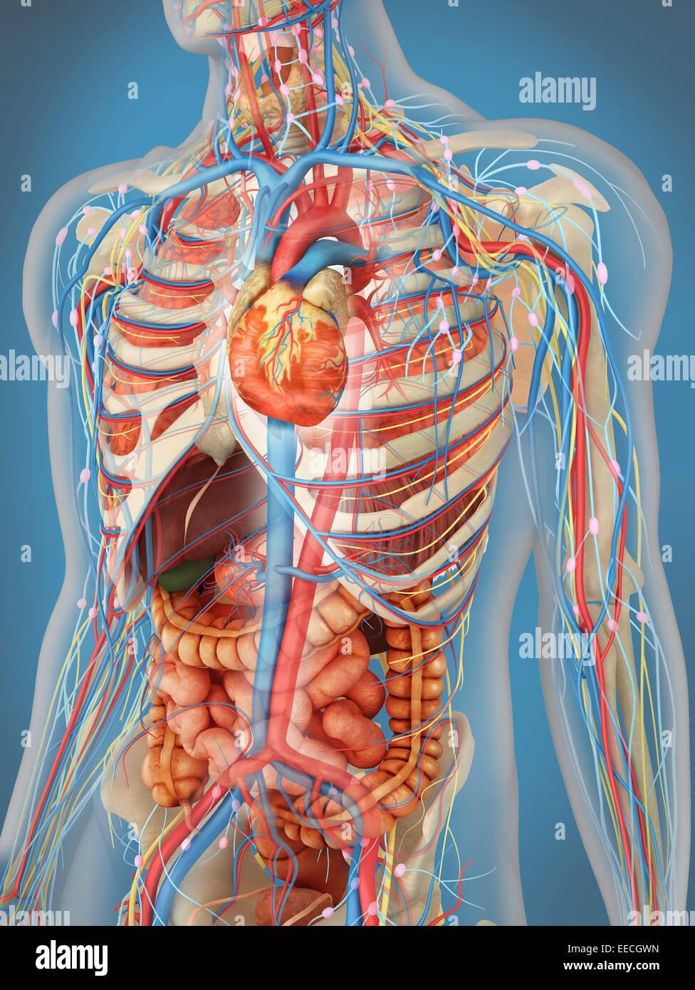 Cuerpo humano transparente que muestra el corazón y el sistema ...