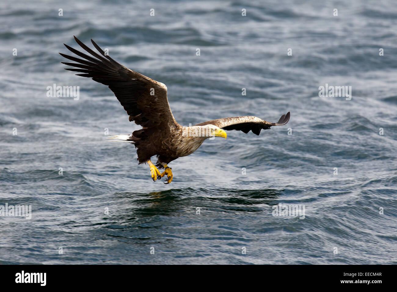 El águila de cola blanca en vuelo Foto de stock