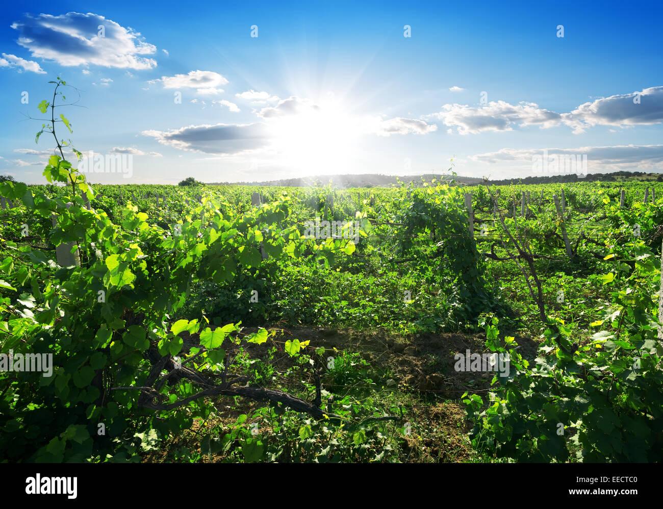 Hermoso día soleado en el viñedo de verano Imagen De Stock