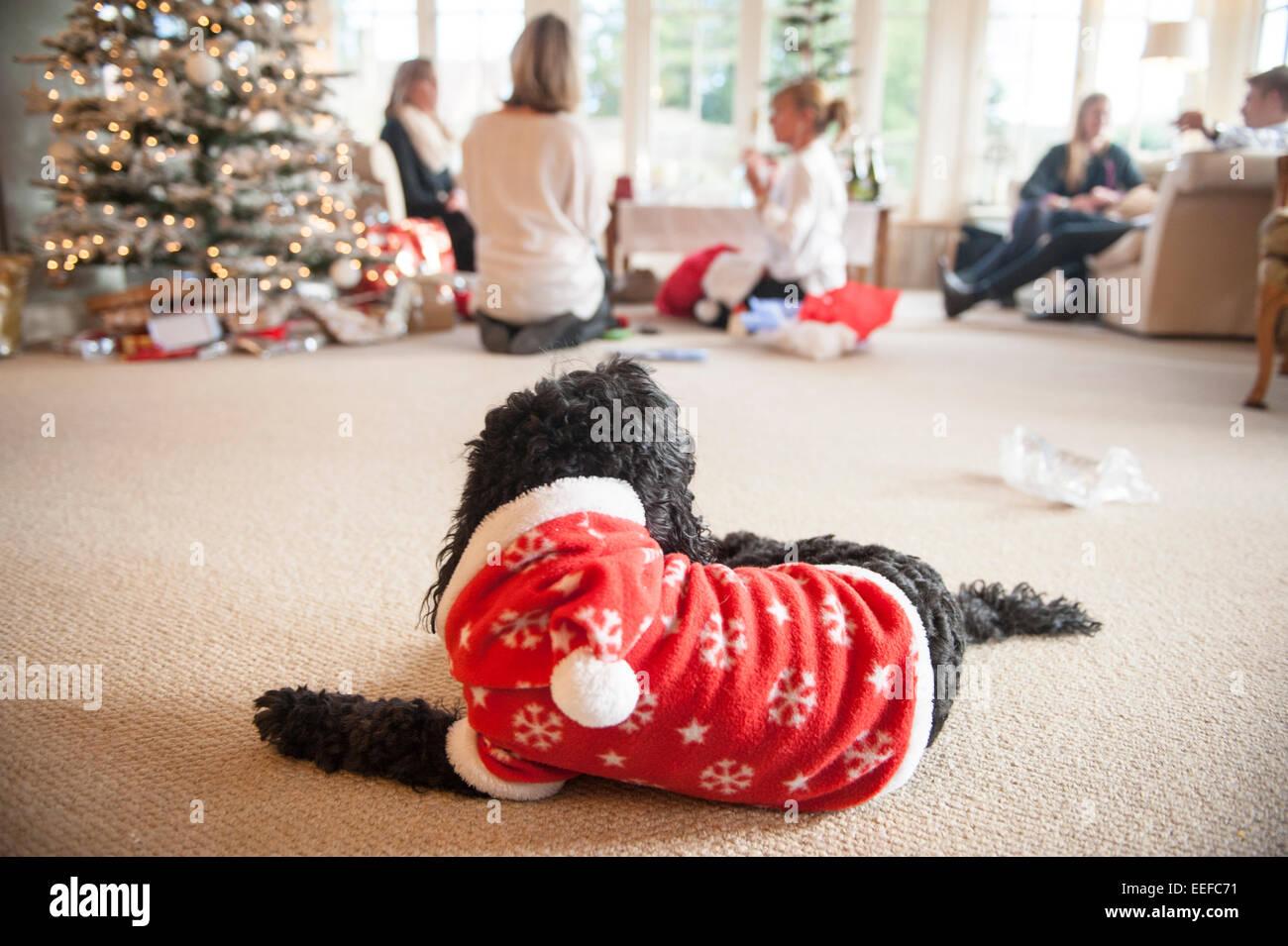 Un perro negro en un traje de Navidad observa el presente apertura de Navidad y adornos del árbol. Imagen De Stock