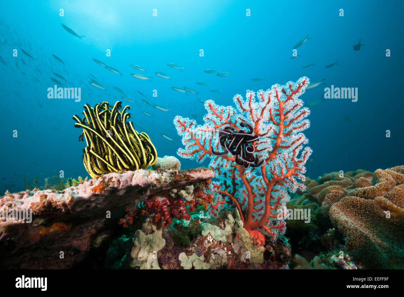 Featherstar en arrecifes de coral, Triton Bay, Papua Occidental, Indonesia Imagen De Stock