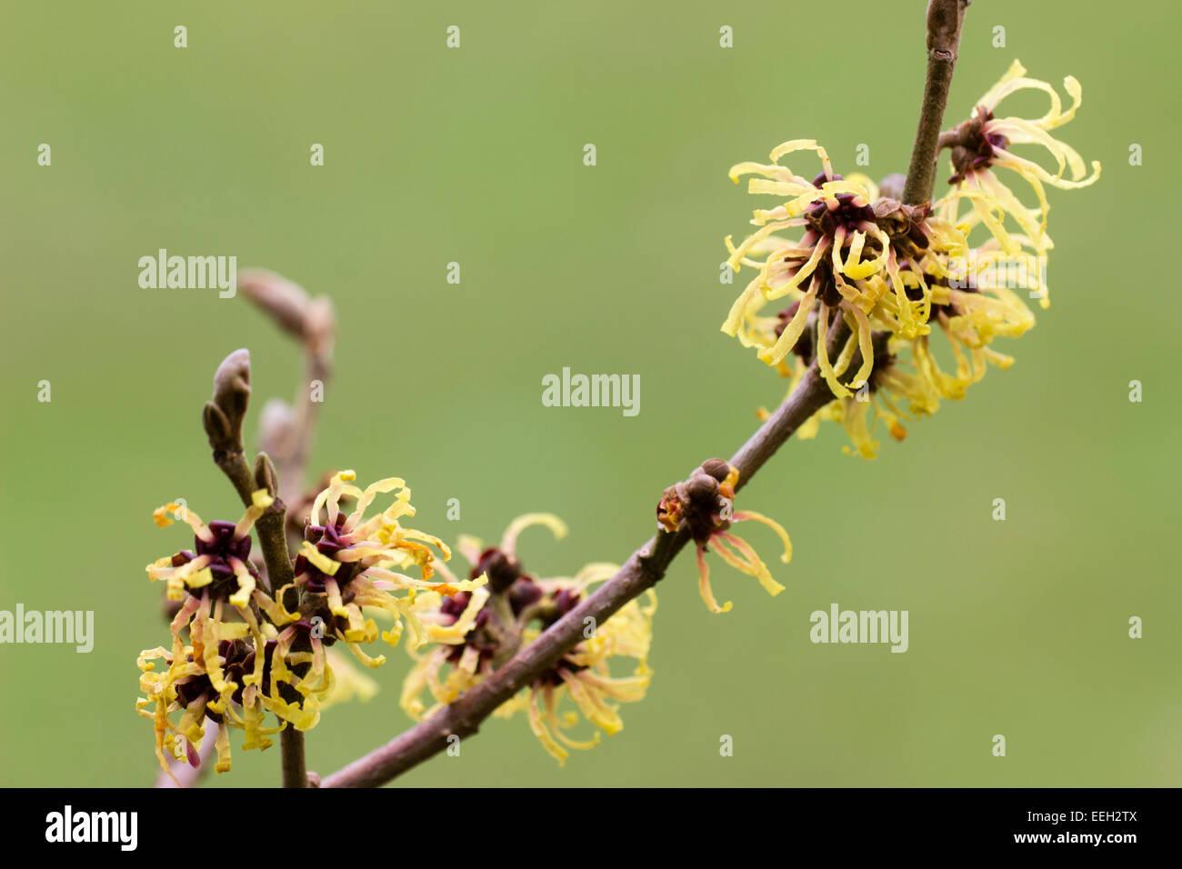 Etérea, fragantes flores de invierno del witchhazel, hamamelis x intermedia 'primavera' Foto de stock