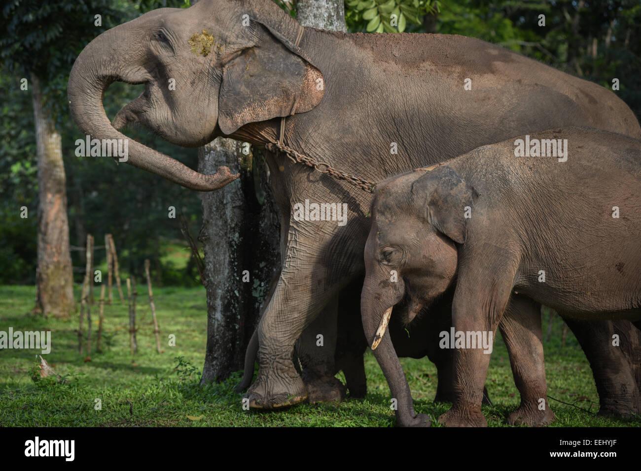 Juvenil y adulta de los elefantes en el Parque Nacional Way Kambas, Indonesia. Imagen De Stock