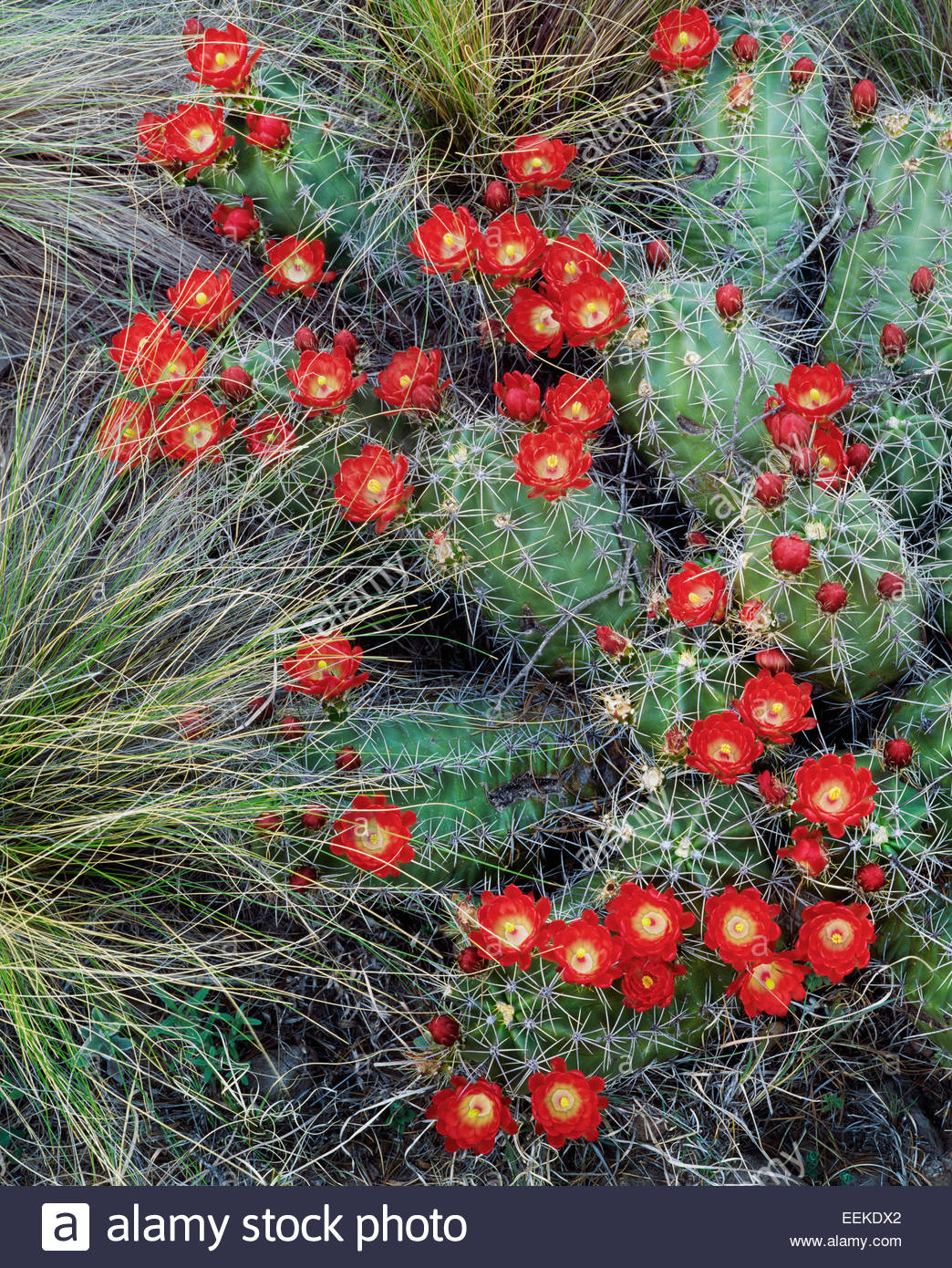 Claret cup [cactus Echinocereus triglochidiatus]. Las Montañas Chisos. El Parque Nacional de Big Bend, Texas Imagen De Stock