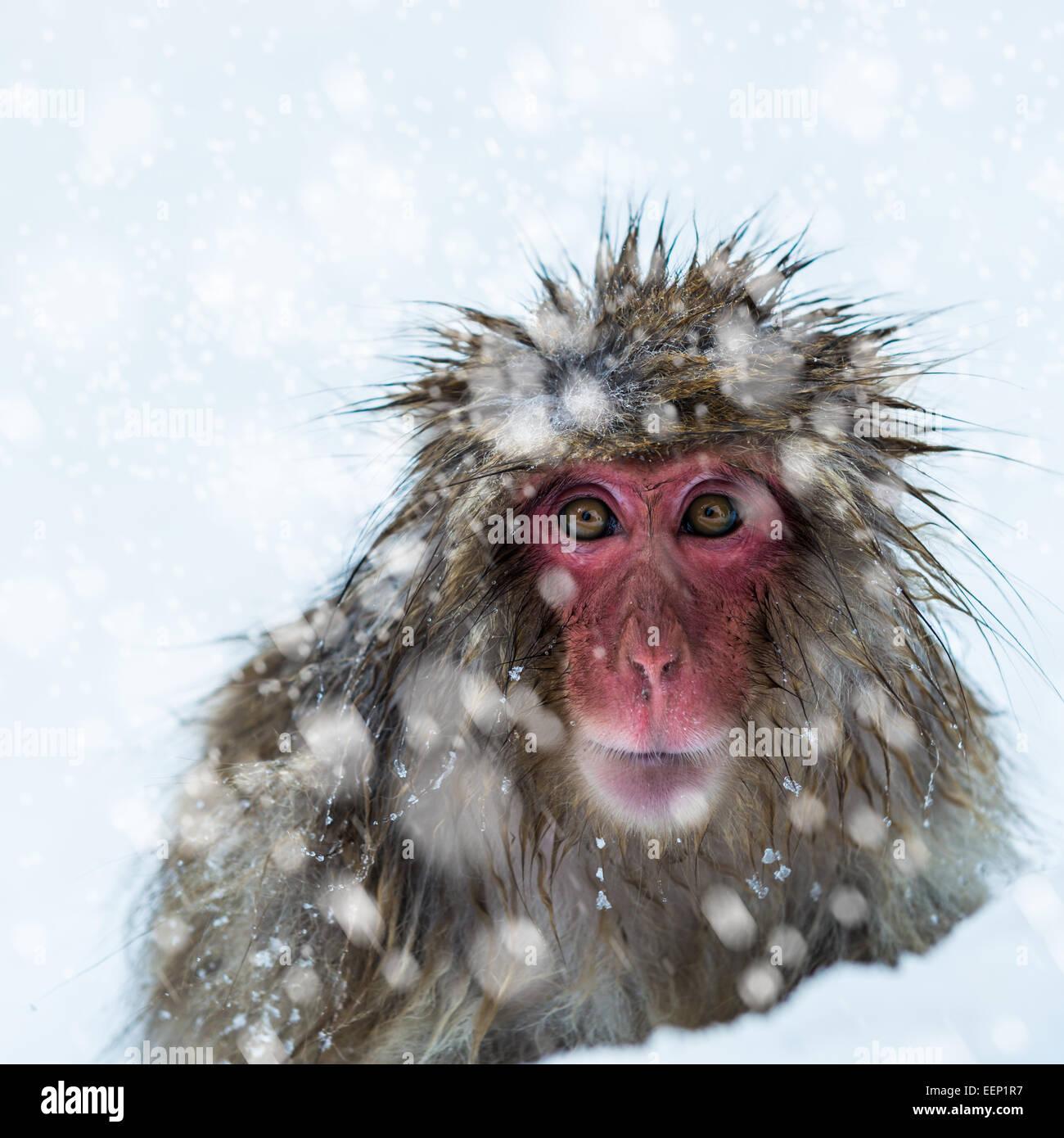 Mono de nieve en el parque de monos Jigokudani en la Prefectura de Nagano, Japón. Imagen De Stock