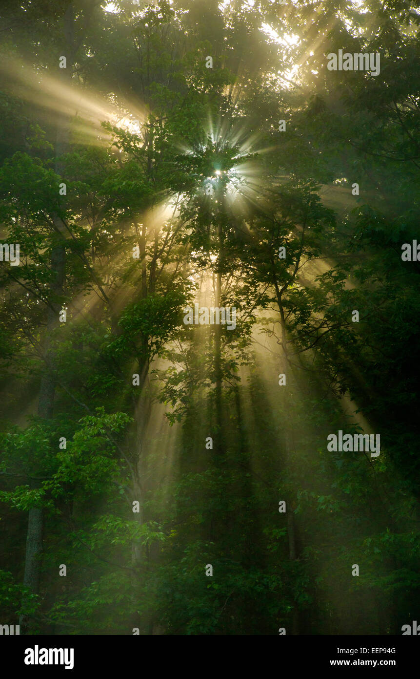 Los rayos del sol brillando a través de los árboles forestales, amanecer temprano paisaje en Binghamton, tramo sur Foto de stock