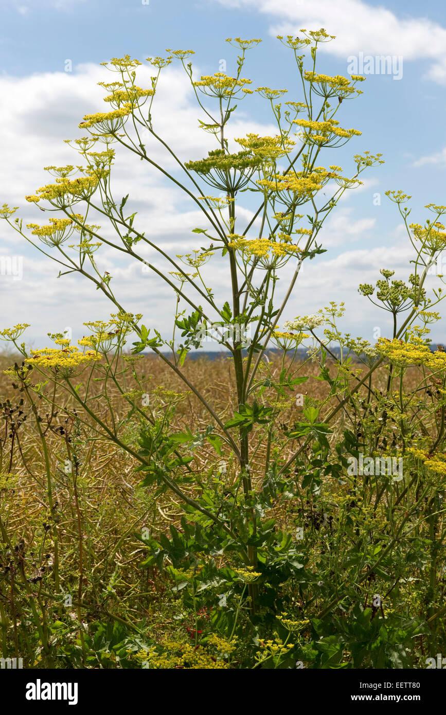 La alcachofa silvestre amarillo, Pastinaca sativa, planta en flor de un buen día de verano, Berkshire, Julio Imagen De Stock