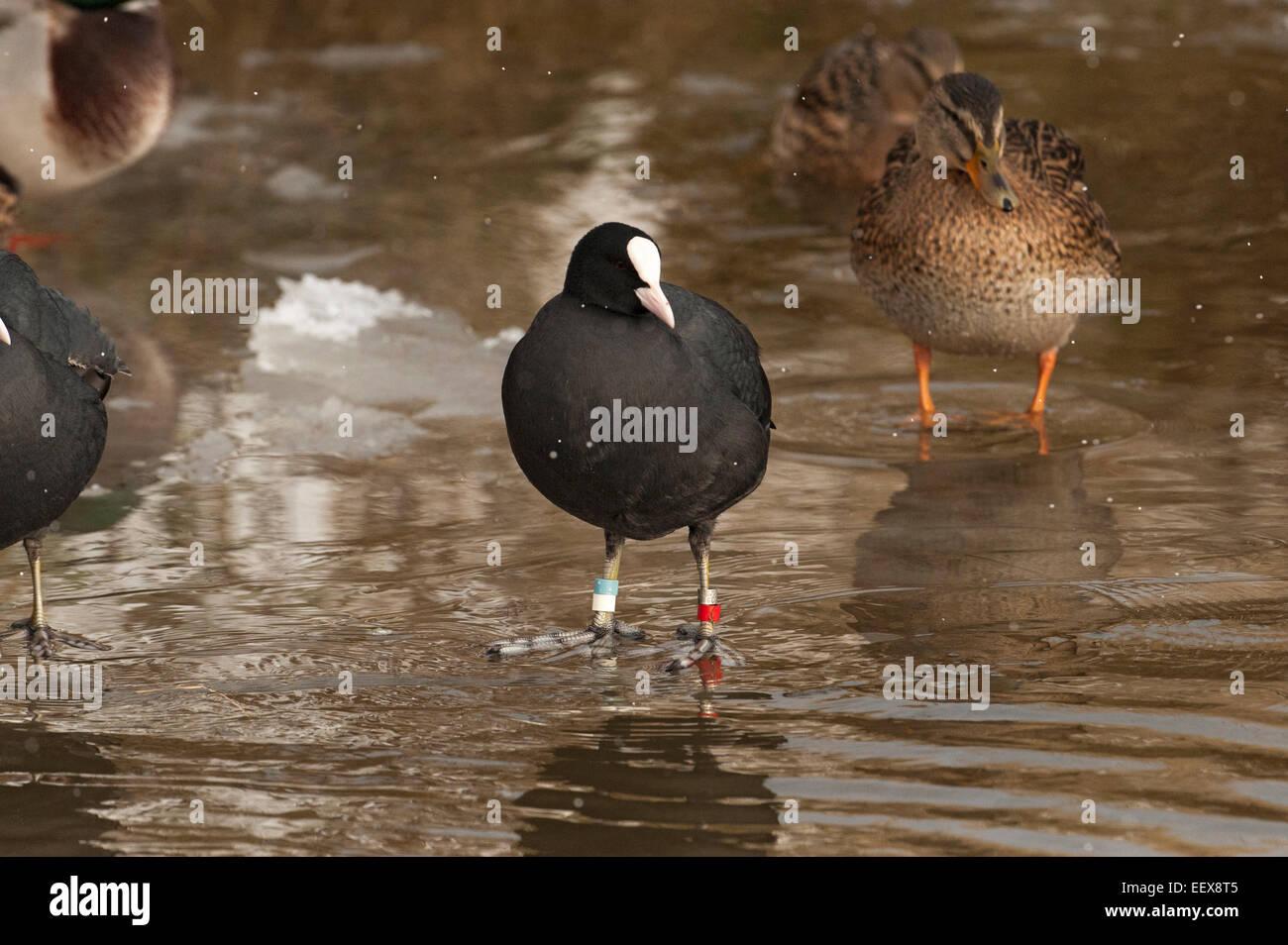 Cuando los lagos congelar este es un buen momento para poder ver los anillos de colores en las aves acuáticas Imagen De Stock