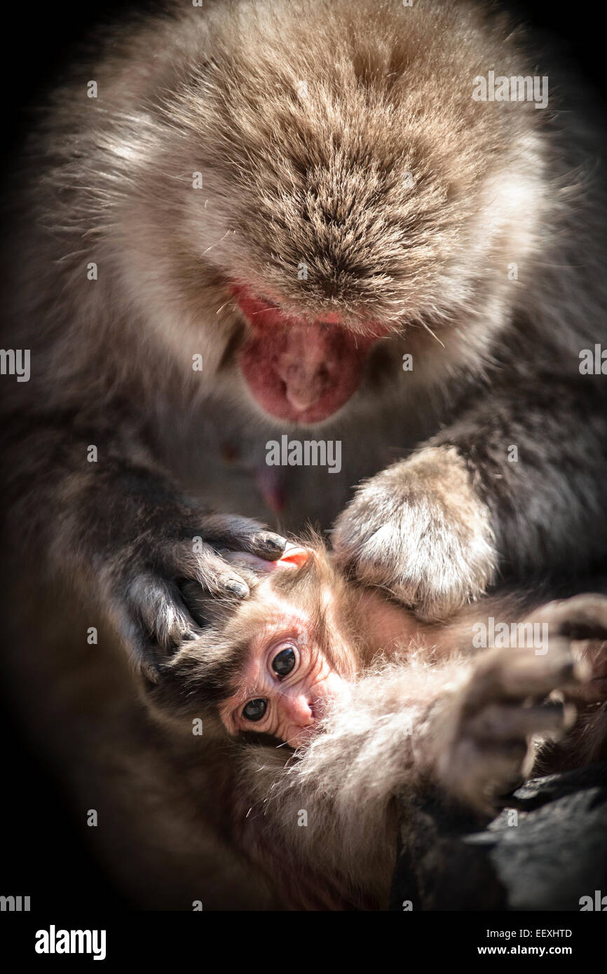 Macacos japoneses Imagen De Stock